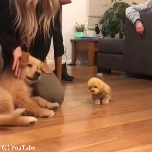 子犬、おもちゃの犬に激しくやきもちをやく03