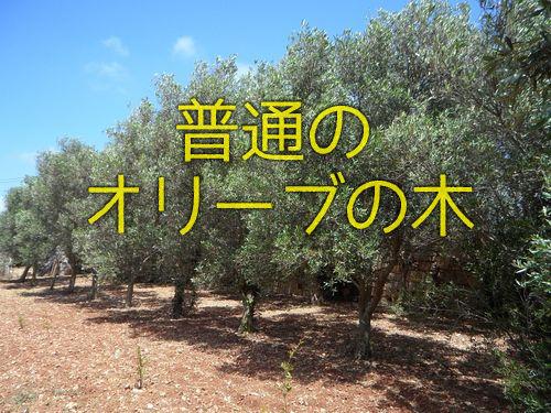 樹齢2000年のオリーブの木00
