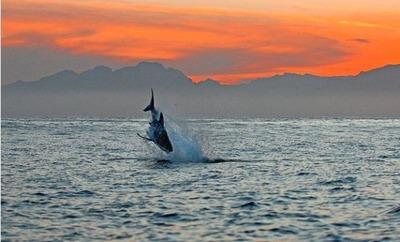 飛び跳ねるサメ08