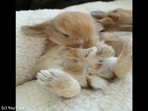 お昼寝中のウサギ、絶対夢の中でニンジン食べてる00
