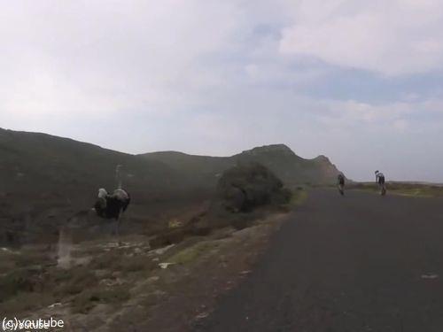自転車と並走するダチョウ06
