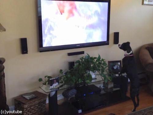 テレビを見て興奮する犬05