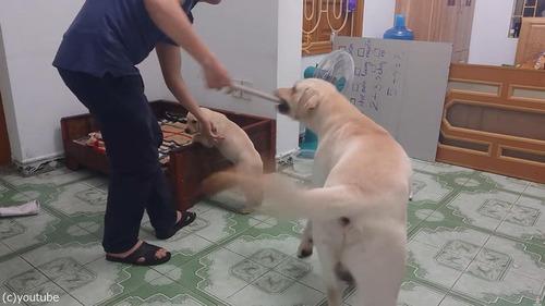 子犬をしかろうとしたら、親犬が守る03