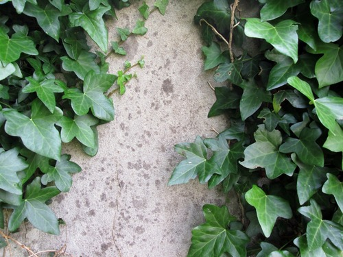 wall_old_ivy_rustic_green_english_ivy-1036560