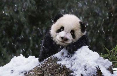 雪で大はしゃぎのパンダ親子03