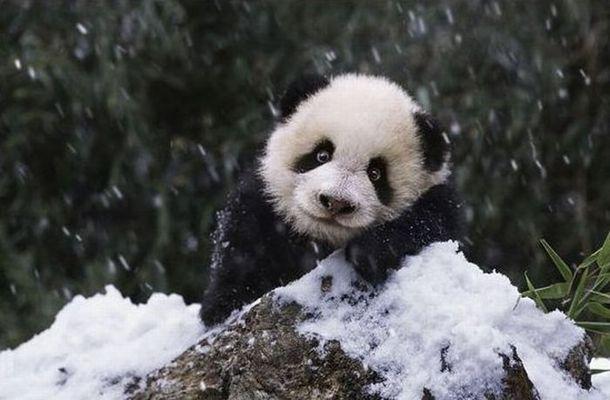 パンダ親子が雪を見て大はしゃぎしている写真9枚 らばq