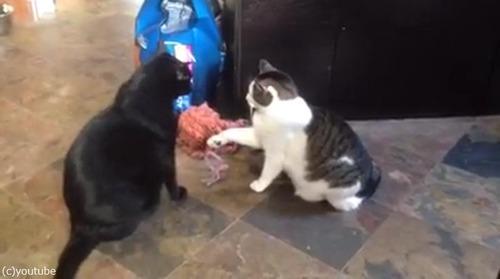 猫パンチしない猫01