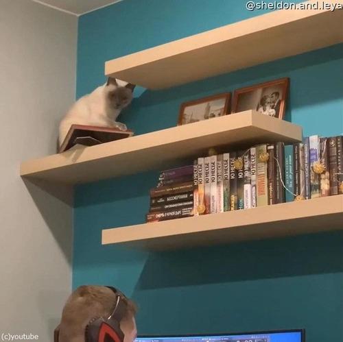 頭上の棚から物を落とす猫03