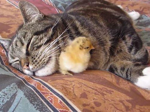 猫とひよこ01