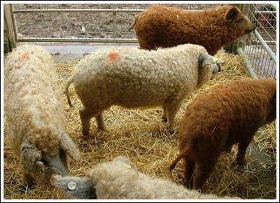 豚と羊の交配種07