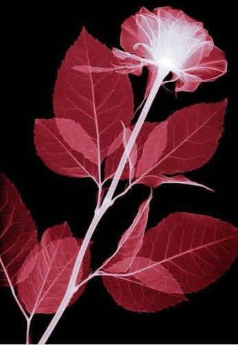 花のレントゲン07