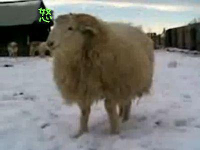 荒々しい羊