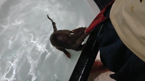 初めて水遊びをするカワウソ05