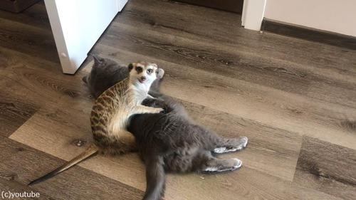 猫を寝かしつけるミーアキャット02