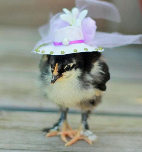 ひよこに帽子09