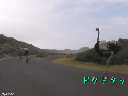 自転車と並走するダチョウ00