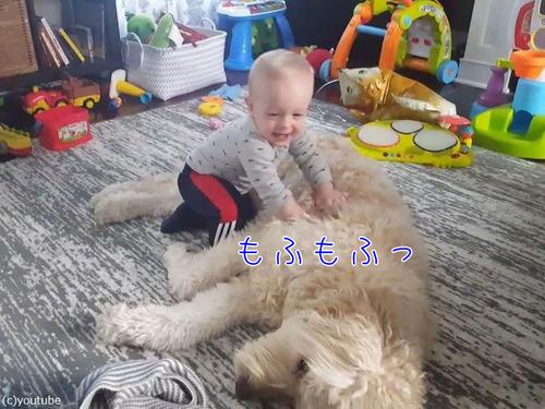 もふもふの犬をベッドにしようとする赤ちゃん00