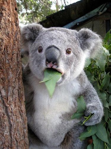 コアラが獰猛なとき05