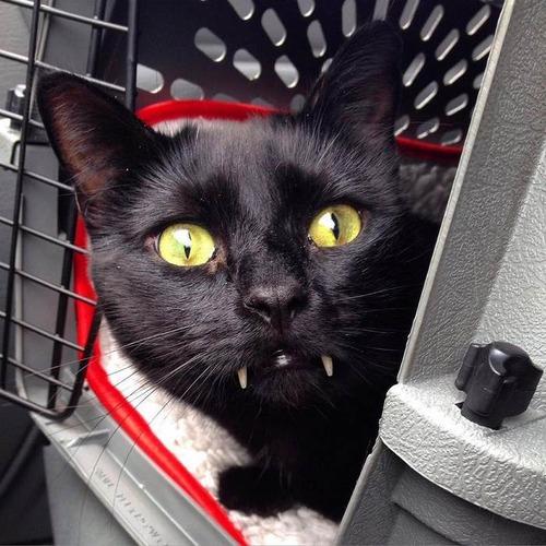 吸血鬼みたいな黒猫05