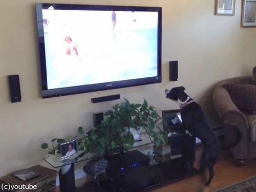 テレビを見て興奮する犬04
