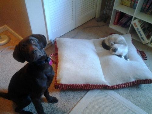 猫にベッドを奪われた犬たち09