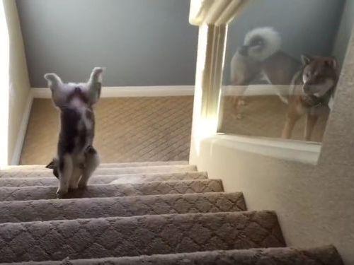 ハスキーの子犬と階段05