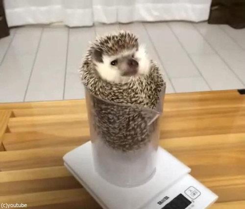 ハリネズミの体重01
