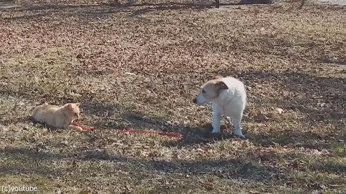 犬のリードを離してくれない猫06