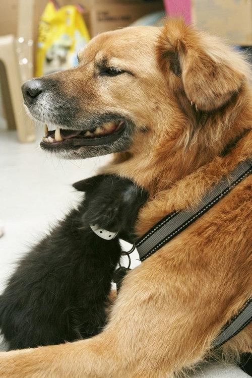 ハリケーン・カトリーナから救出された犬、猫のお母さん役となる02