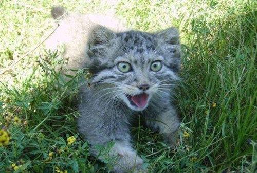 ロシアの農夫「子猫を拾ったつもりが…」02