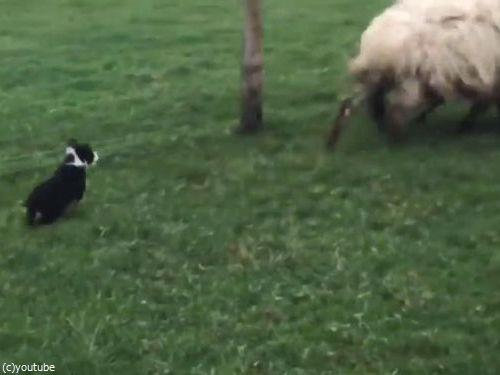 初めての牧羊犬06