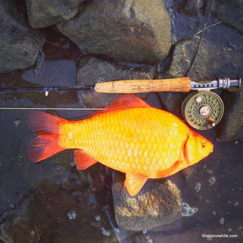 金魚が飼えなくなって人々が湖に放したその結果07