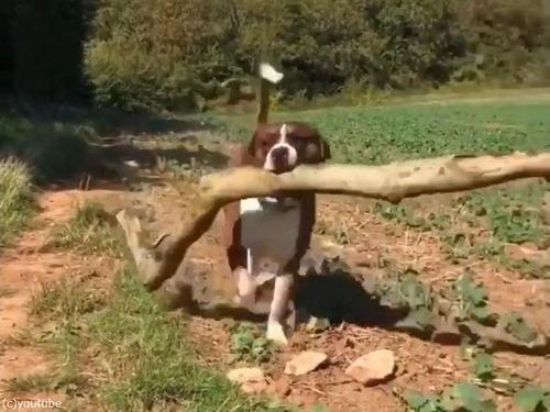 大きな枝を拾ってくる犬03