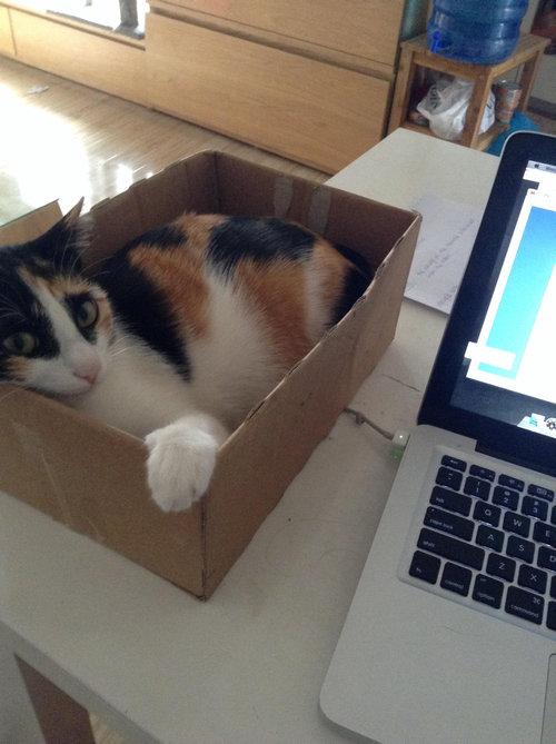 パソコンの邪魔をする猫01