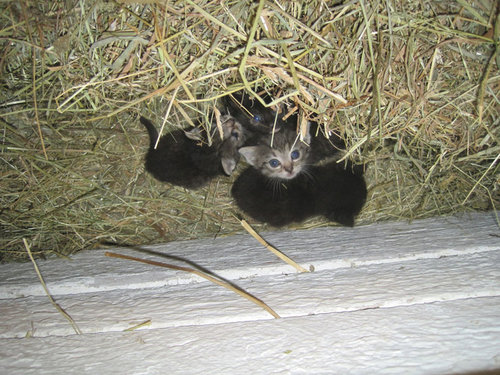 ニワトリが子猫4匹を温めてた…03