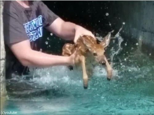 プールの奥に子鹿がいる02