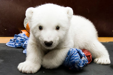 白クマの子供がかわいすぎる11