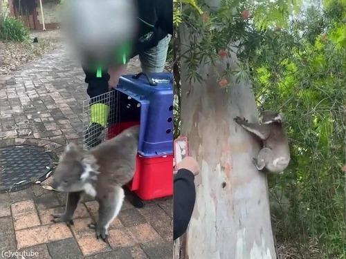 自宅のクリスマスツリーにコアラが登っていた02