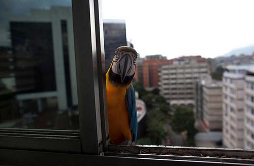 ベネズエラのインコ04