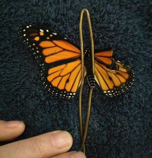 蝶の羽を移植02