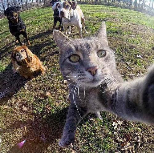 犬たちと一緒に自分撮りをする猫06