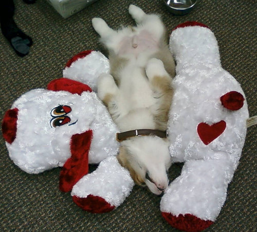 寝てるコーギー犬06