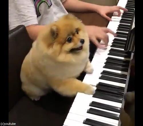うちの犬はピアニスト02