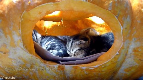かぼちゃが猫ホイホイ06