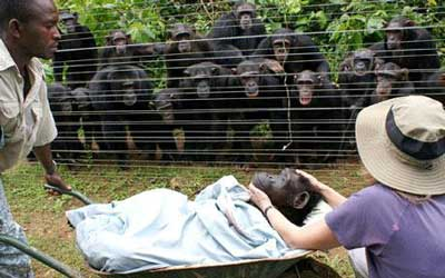 嘆き悲しむチンパンジー01