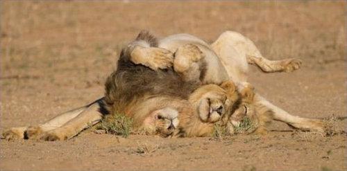 酔いつぶれたライオン04