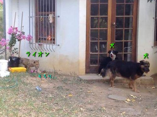 ライオンの子供が犬の背後にそろ〜り00