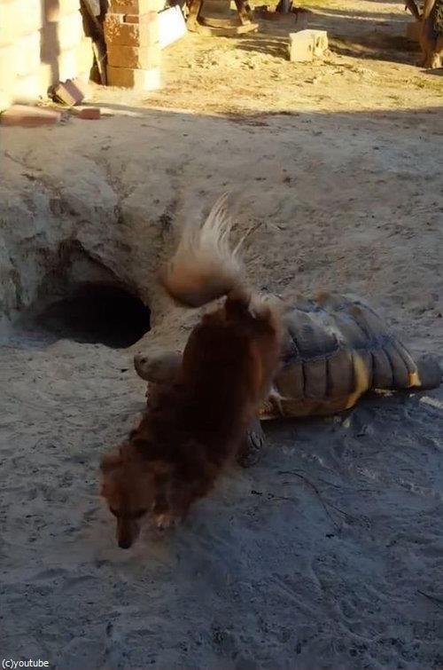 亀に乗る犬09