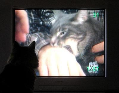 猫の番組を見つめる猫06