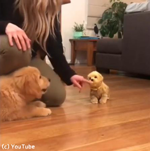 子犬、おもちゃの犬に激しくやきもちをやく04